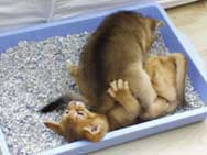 kittens playing in the litter tray